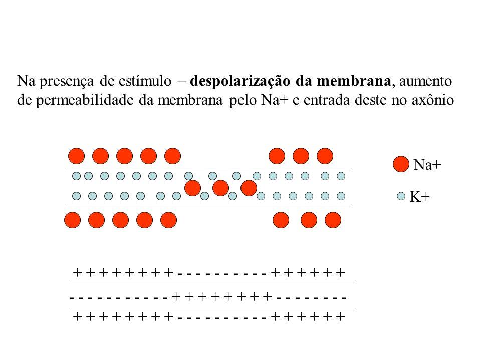 Na presença de estímulo – despolarização da membrana, aumento de permeabilidade da membrana pelo Na+ e entrada deste no axônio Na+ K+ - - - - - - - -