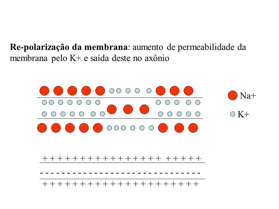 Re-polarização da membrana: aumento de permeabilidade da membrana pelo K+ e saída deste no axônio Na+ K+ - - - - - - - - - - - - - - - + + + + + + + +