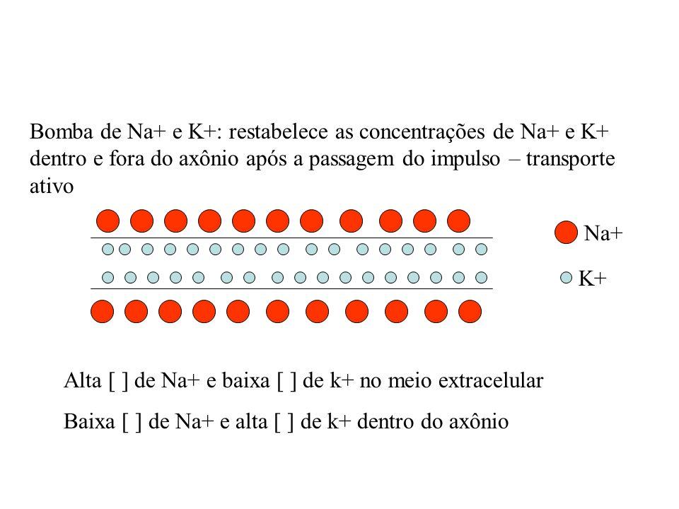 Bomba de Na+ e K+: restabelece as concentrações de Na+ e K+ dentro e fora do axônio após a passagem do impulso – transporte ativo Alta [ ] de Na+ e ba