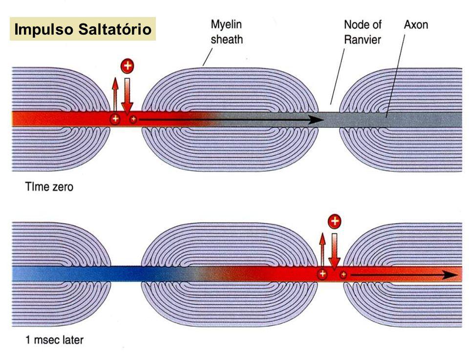 Quanto à velocidade de condução TIPO A => Grande calibre mielinizadas.
