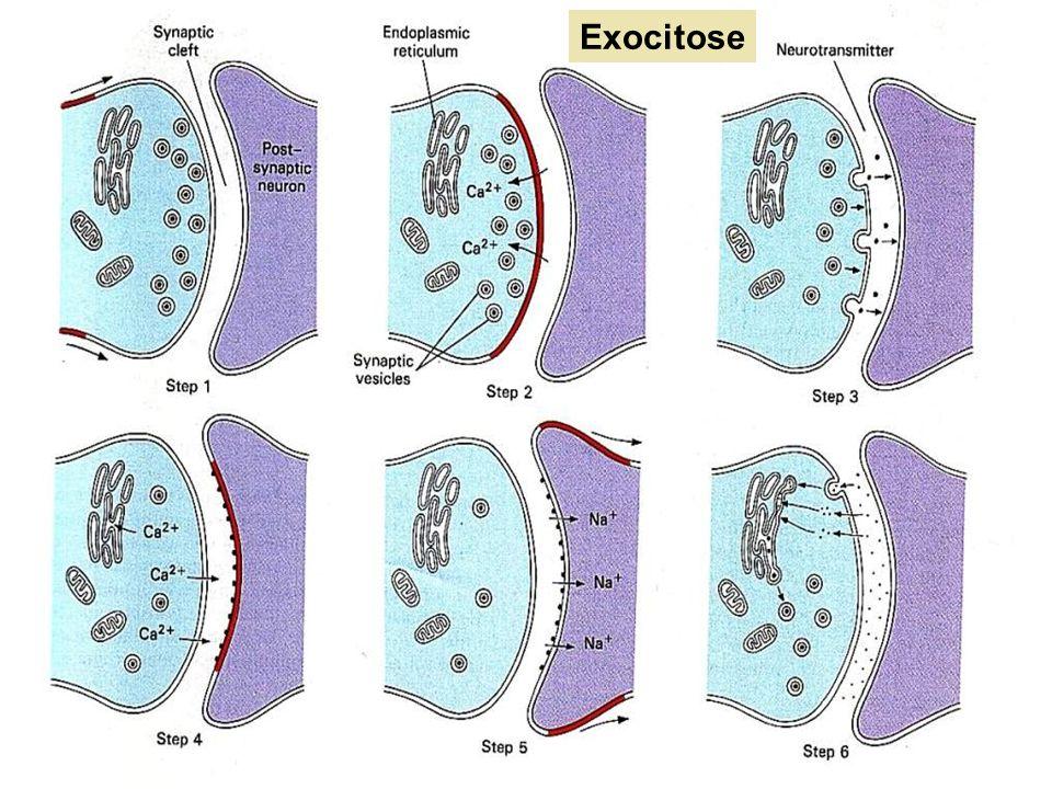 Sinapses Neuromusculares: é a ligação entre as terminações axônicas e as células musculares e nestas ocorre liberação da substância neurotransmissora acetilcolina que estimula a contração muscular.