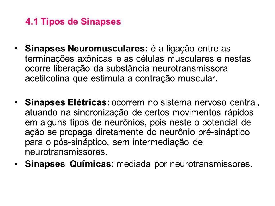 Sinapses Neuromusculares: é a ligação entre as terminações axônicas e as células musculares e nestas ocorre liberação da substância neurotransmissora