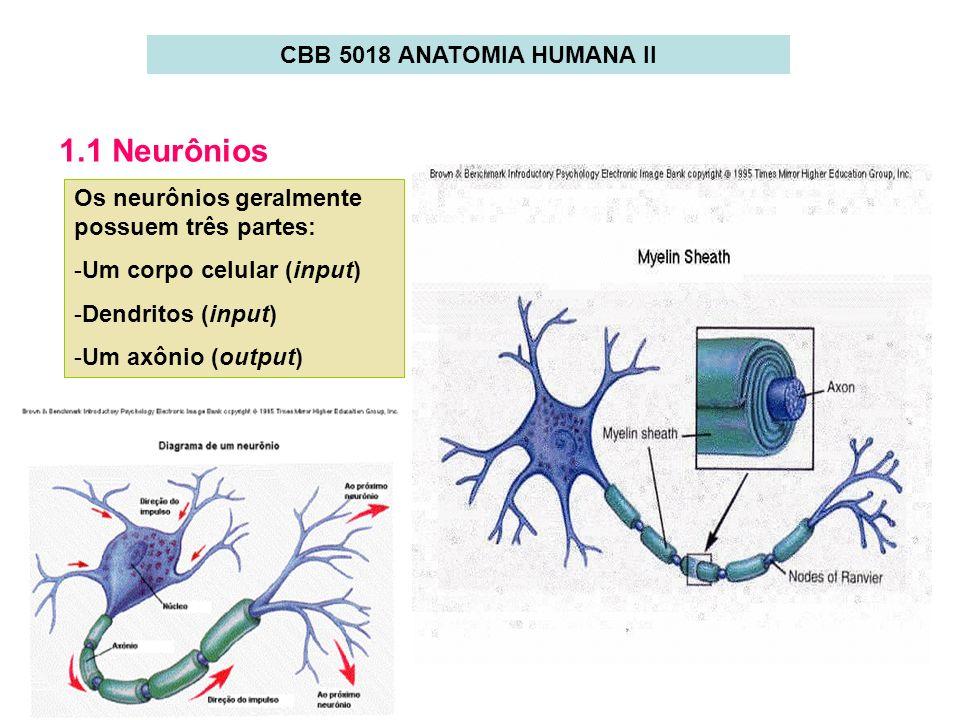 1.1 Neurônios Os neurônios geralmente possuem três partes: -Um corpo celular (input) -Dendritos (input) -Um axônio (output) CBB 5018 ANATOMIA HUMANA I