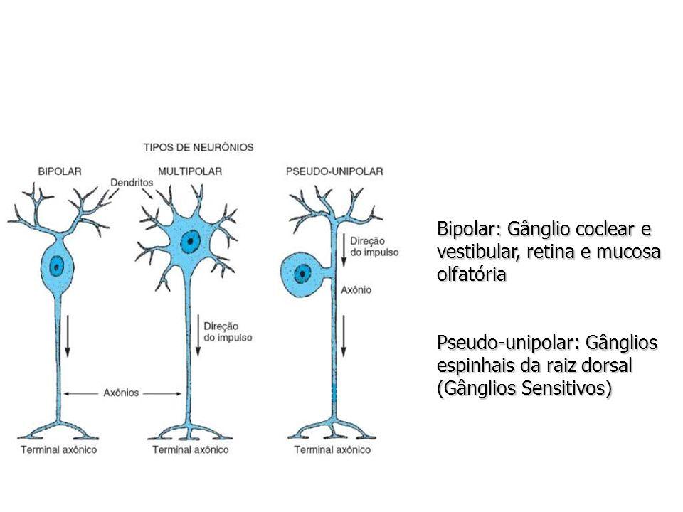 Bipolar: Gânglio coclear e vestibular, retina e mucosa olfatória Pseudo-unipolar: Gânglios espinhais da raiz dorsal (Gânglios Sensitivos)