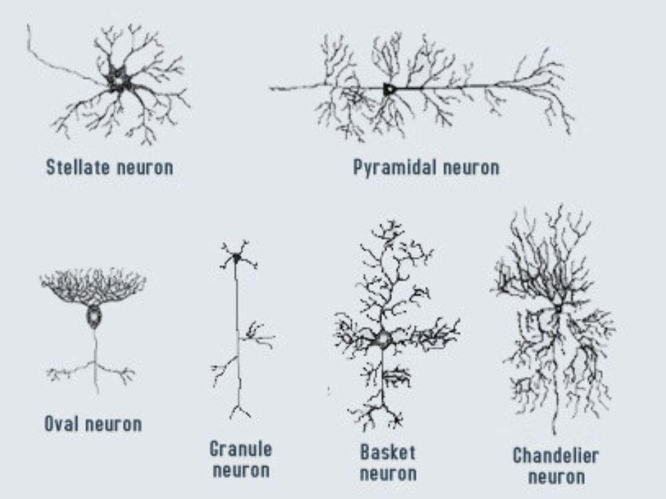 CBB 5018 ANATOMIA HUMANA II Tipos de neurônios quanto a função Neurônios aferentes (sensitivo): normalmente situados no epitélio da superfície do animal, apresentando a característica de irritabilidade, detectando as modificações do meio ambiente, tanto interno como externo, ou seja, são sensíveis aos estímulos externos ou internos.