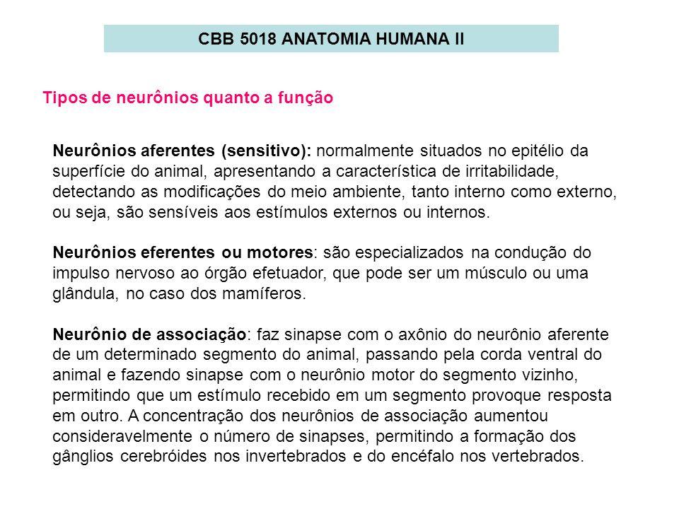 CBB 5018 ANATOMIA HUMANA II Tipos de neurônios quanto a função Neurônios aferentes (sensitivo): normalmente situados no epitélio da superfície do anim
