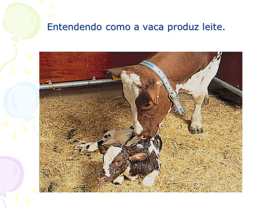 Entendendo como a vaca produz leite.