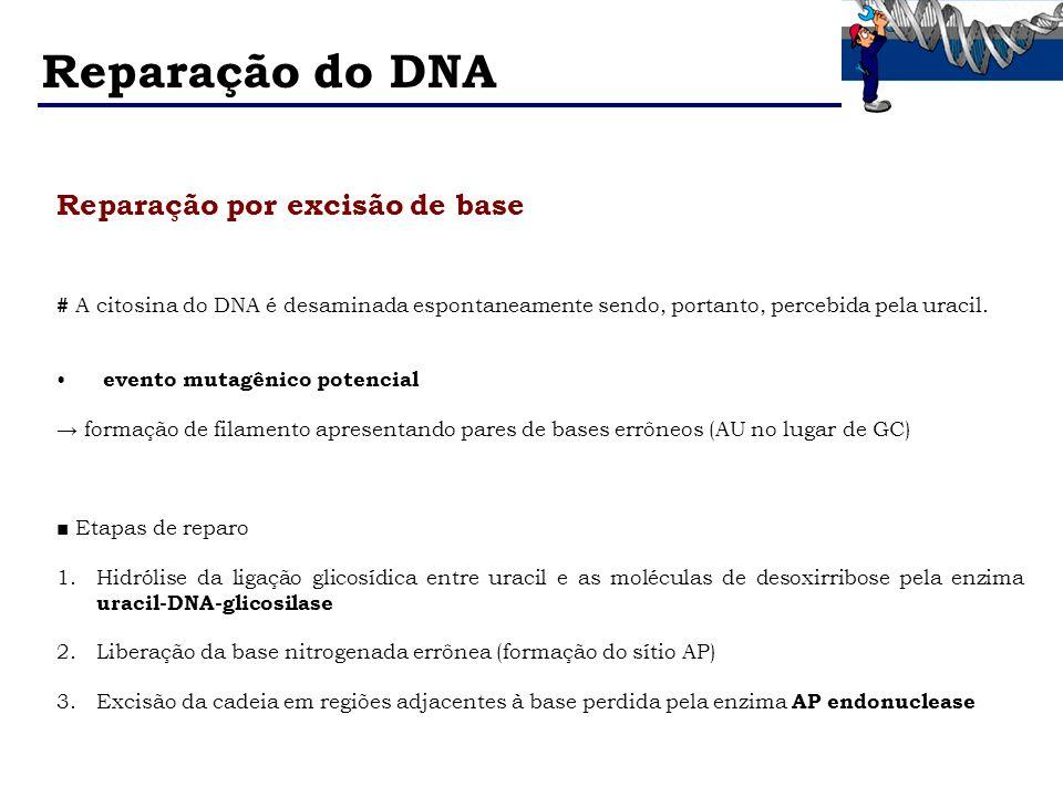 Reparação por excisão de base # A citosina do DNA é desaminada espontaneamente sendo, portanto, percebida pela uracil. evento mutagênico potencial for