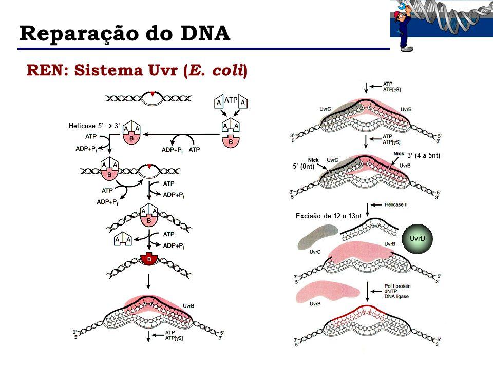 Reparação do DNA REN: Sistema Uvr ( E. coli ) ATP Helicase 5 3 5 (8nt) 3 (4 a 5nt) Excisão de 12 a 13nt UvrD