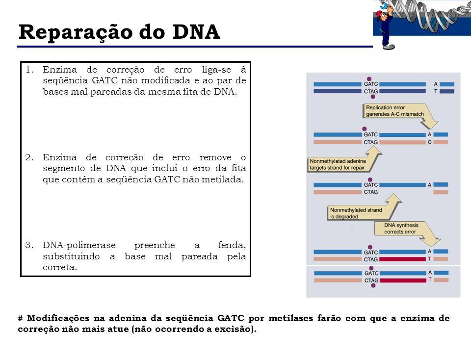 Reparação do DNA 1.Enzima de correção de erro liga-se à seqüência GATC não modificada e ao par de bases mal pareadas da mesma fita de DNA. 2.Enzima de