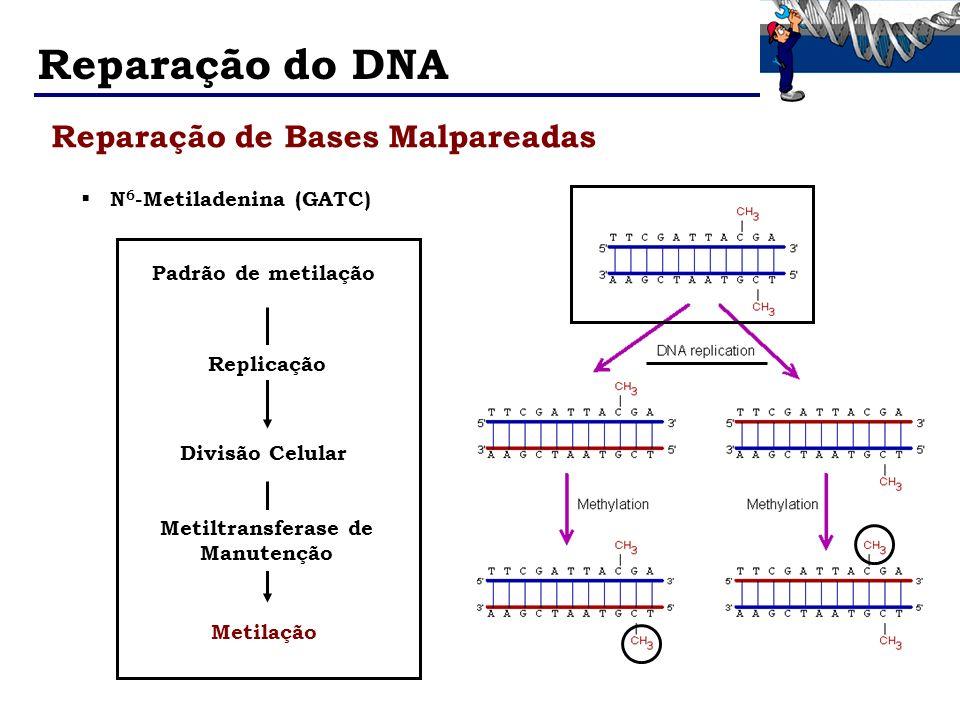 Reparação do DNA N 6 -Metiladenina (GATC) Padrão de metilação Replicação Divisão Celular Metilação Metiltransferase de Manutenção Reparação de Bases M