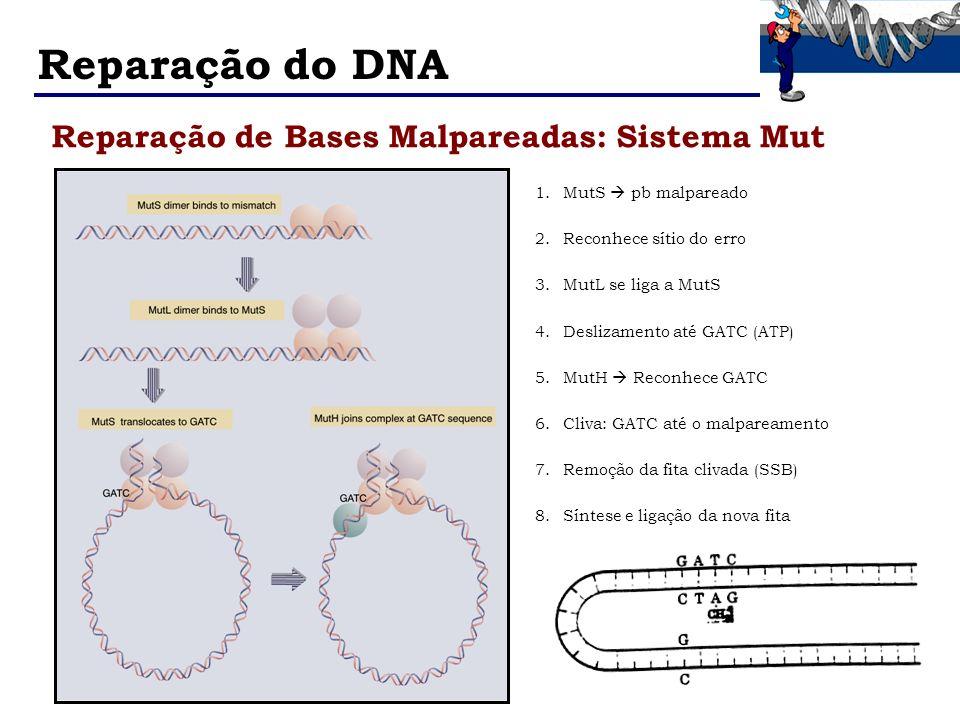 Reparação do DNA Reparação de Bases Malpareadas: Sistema Mut 1.MutS pb malpareado 2.Reconhece sítio do erro 3.MutL se liga a MutS 4.Deslizamento até G