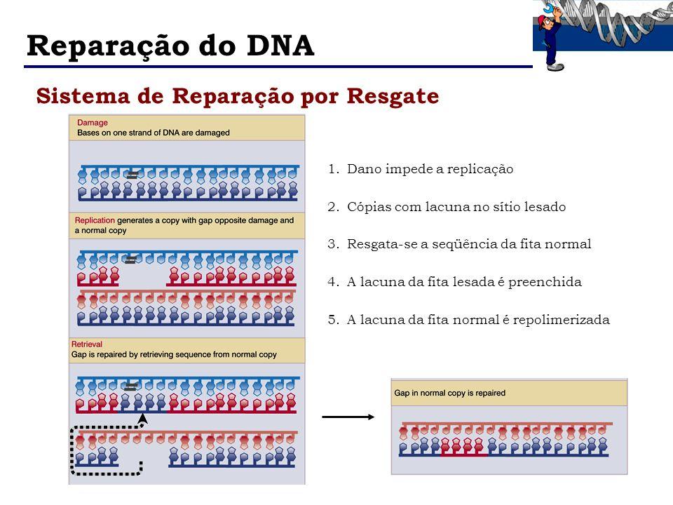 Reparação do DNA Sistema de Reparação por Resgate 1.Dano impede a replicação 2.Cópias com lacuna no sítio lesado 3.Resgata-se a seqüência da fita norm