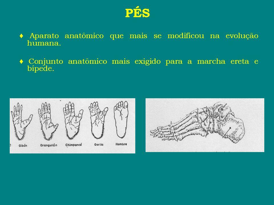 PÉS Aparato anatômico que mais se modificou na evolução humana. Conjunto anatômico mais exigido para a marcha ereta e bípede.