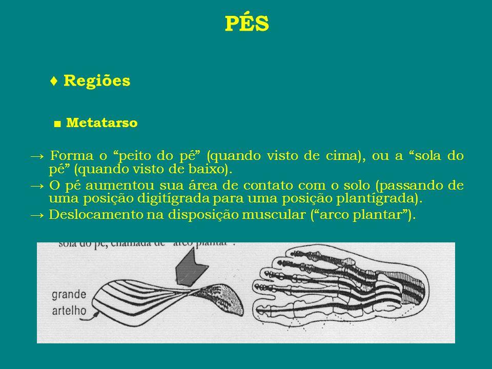 PÉS Regiões Metatarso Forma o peito do pé (quando visto de cima), ou a sola do pé (quando visto de baixo). O pé aumentou sua área de contato com o sol