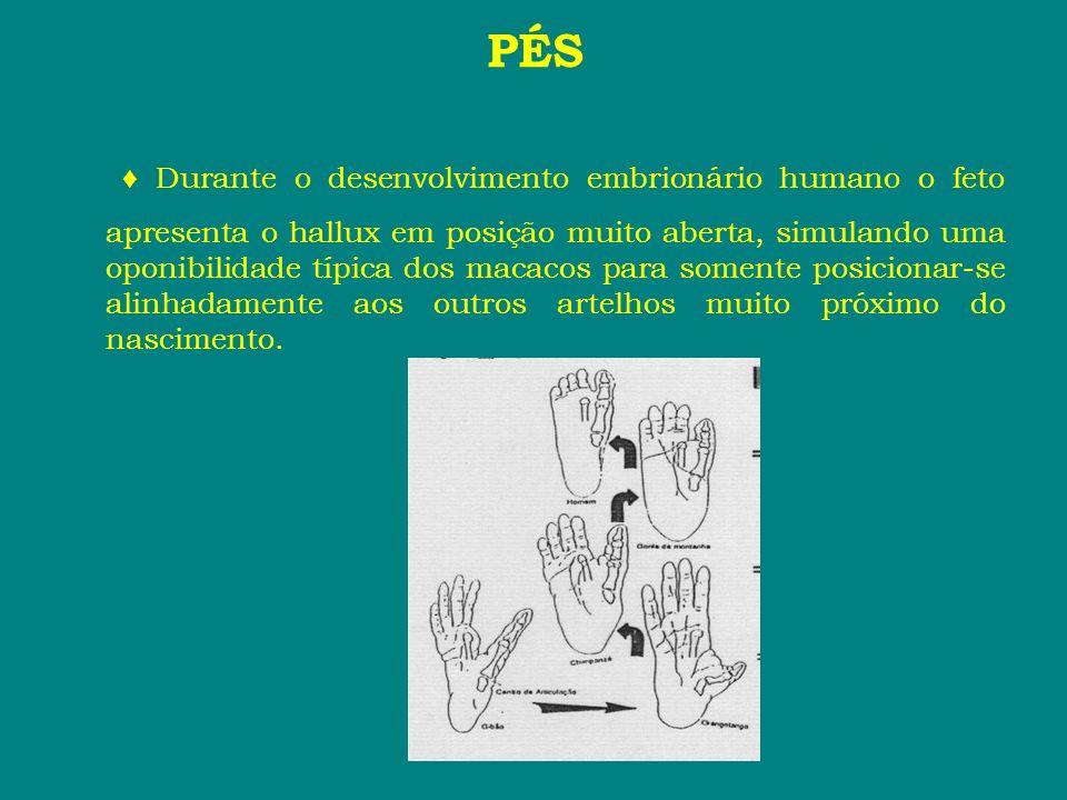 PÉS Durante o desenvolvimento embrionário humano o feto apresenta o hallux em posição muito aberta, simulando uma oponibilidade típica dos macacos par