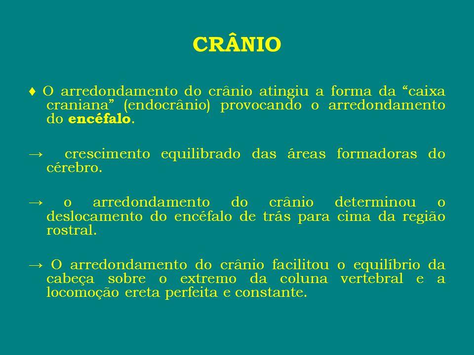 O arredondamento do crânio atingiu a forma da caixa craniana (endocrânio) provocando o arredondamento do encéfalo. crescimento equilibrado das áreas f