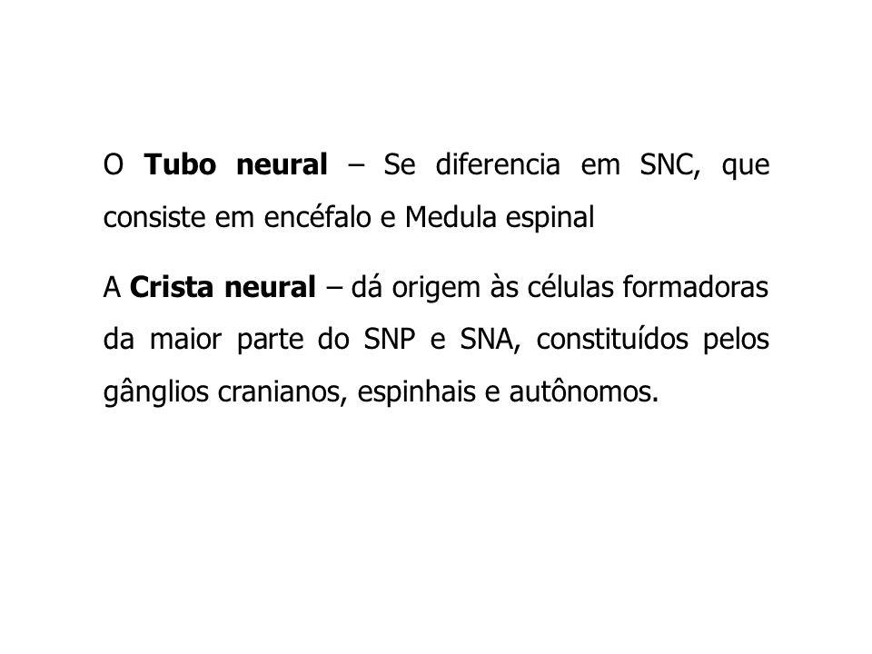 O Tubo neural – Se diferencia em SNC, que consiste em encéfalo e Medula espinal A Crista neural – dá origem às células formadoras da maior parte do SN