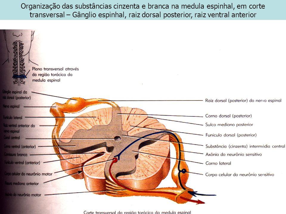 Organização das substâncias cinzenta e branca na medula espinhal, em corte transversal – Gânglio espinhal, raiz dorsal posterior, raiz ventral anterio