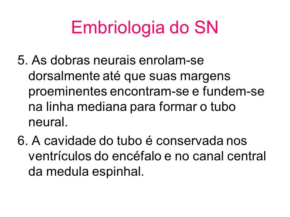 Embriologia do SN 5. As dobras neurais enrolam-se dorsalmente até que suas margens proeminentes encontram-se e fundem-se na linha mediana para formar