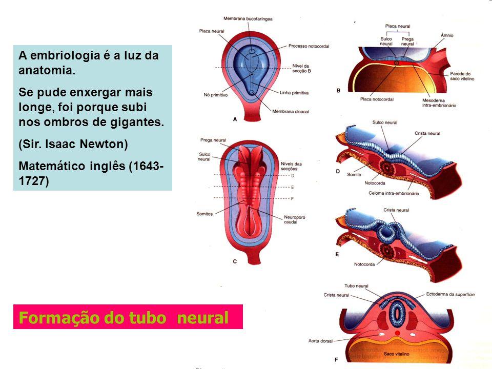 Formação do tubo neural A embriologia é a luz da anatomia. Se pude enxergar mais longe, foi porque subi nos ombros de gigantes. (Sir. Isaac Newton) Ma