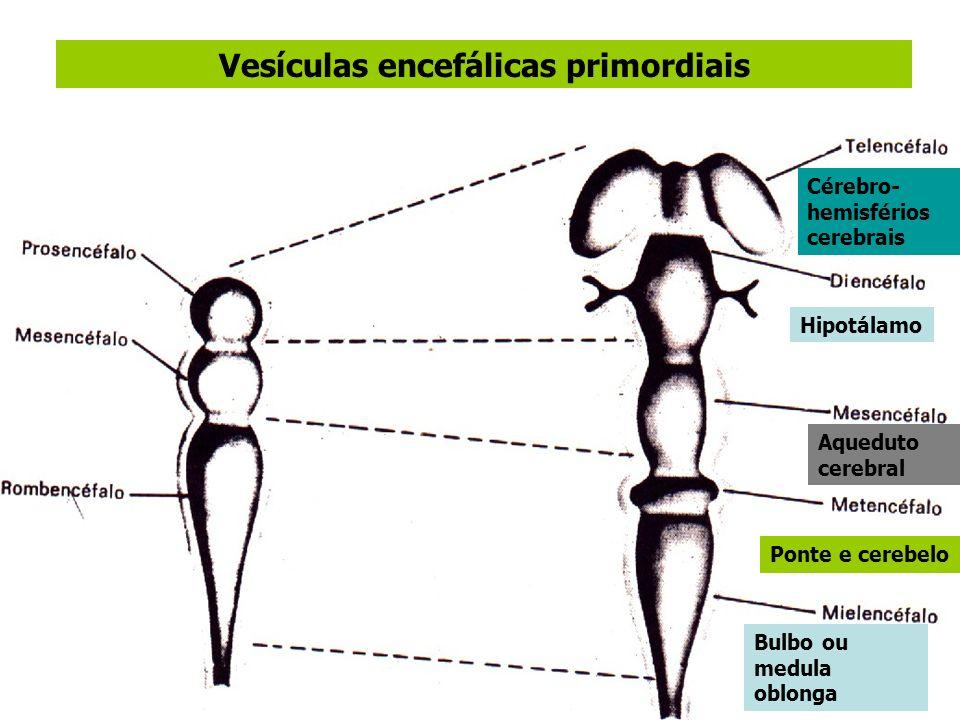 Vesículas encefálicas primordiais Cérebro- hemisférios cerebrais Hipotálamo Aqueduto cerebral Ponte e cerebelo Bulbo ou medula oblonga