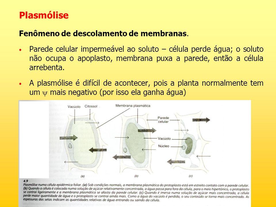 Plasmólise Fenômeno de descolamento de membranas. Parede celular impermeável ao soluto – célula perde água; o soluto não ocupa o apoplasto, membrana p