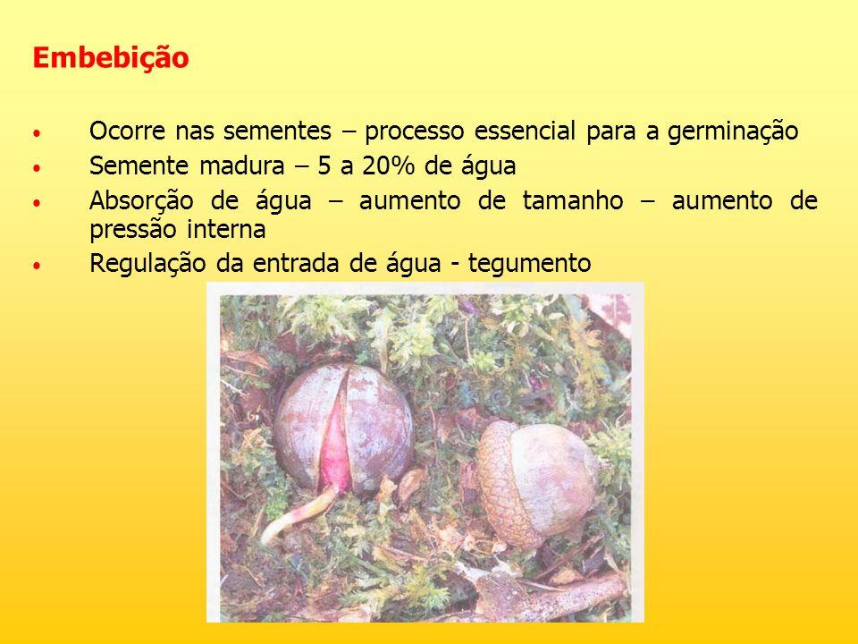 Embebição Ocorre nas sementes – processo essencial para a germinação Semente madura – 5 a 20% de água Absorção de água – aumento de tamanho – aumento
