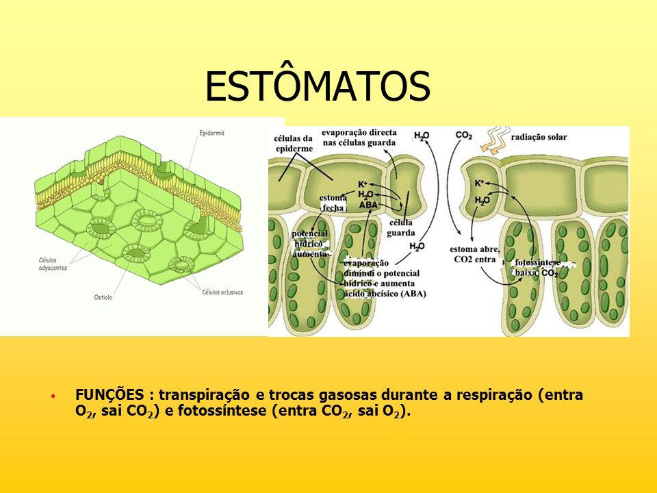 ESTÔMATOS FUNÇÕES : transpiração e trocas gasosas durante a respiração (entra O 2, sai CO 2 ) e fotossíntese (entra CO 2, sai O 2 ).