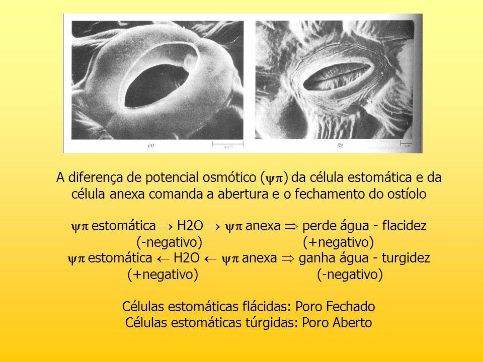 A diferença de potencial osmótico ( ) da célula estomática e da célula anexa comanda a abertura e o fechamento do ostíolo estomática H2O anexa perde á