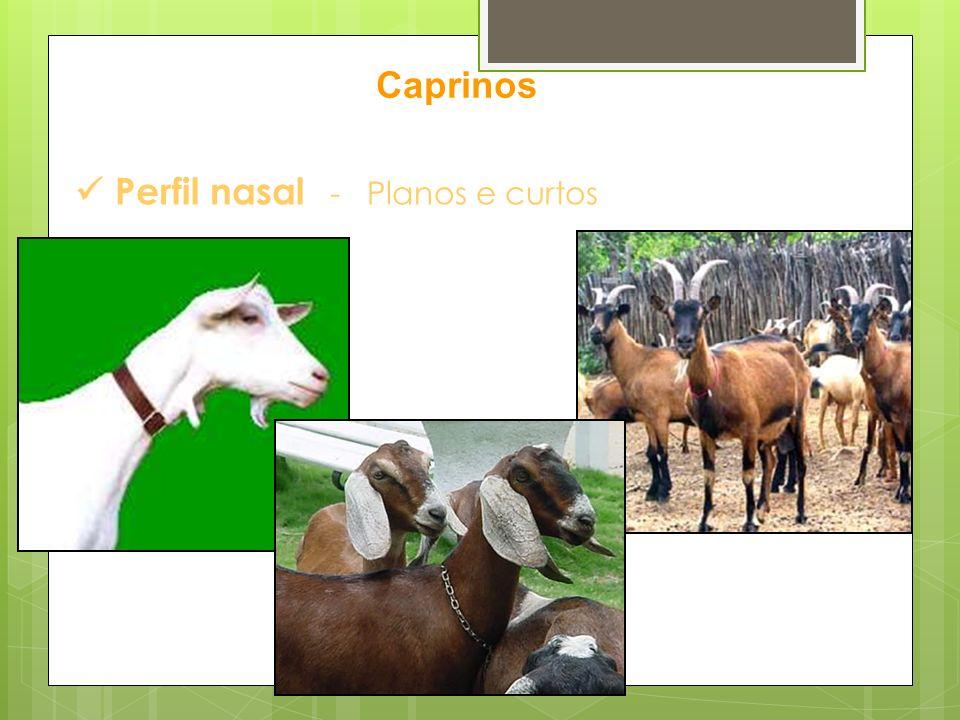 Perfil nasal - Planos e curtos Caprinos