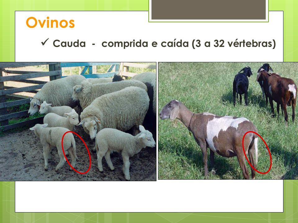 Ovinos Cauda - comprida e caída (3 a 32 vértebras)