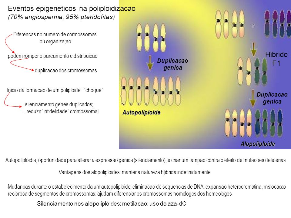 Eventos epigeneticos na poliploidizacao (70% angiosperma; 95% pteridofitas) - silenciamento genes duplicados; - reduzir infidelidade cromossomal Autopoliploidia; oportunidade para alterar a expressao genica (silenciamento), e criar um tampao contra o efeito de mutacoes deleterias Vantagens dos alopoliploides: manter a natureza h[ibrida indefinidamente Mudancas durante o estabelecimento da um autopoliploide; eliminacao de sequencias de DNA, expansao heterocromatina, rnslocacao reciproca de segmentos de cromossomas: ajudam diferenciar os cromossomas homologos dos homeologos Silenciamento nos alopoliploides: metilacao: uso do aza-dC Duplicacao genica Duplicacao genica Hibrido F1 Autopoliploide Alopoliploide Diferencas no numero de cormossomas ou organiza;ao Inicio da formacao de um poliploide: choque: podem romper o pareamento e distribuicao : duplicacao dos cromossomas