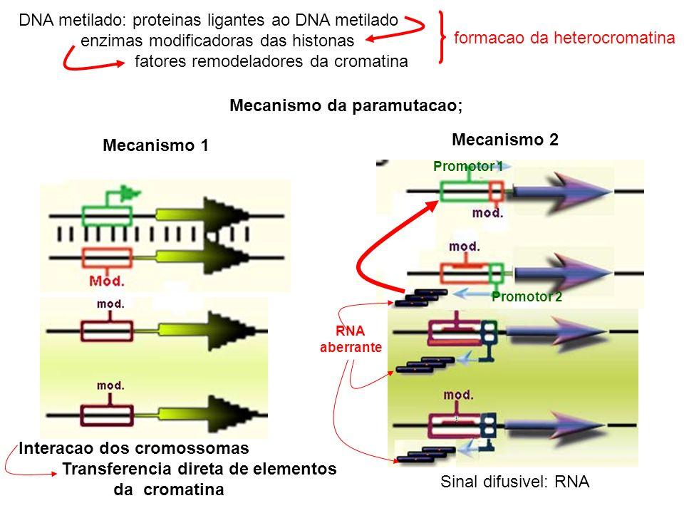 DNA metilado: proteinas ligantes ao DNA metilado enzimas modificadoras das histonas fatores remodeladores da cromatina Mecanismo da paramutacao; Mecanismo 1 Interacao dos cromossomas Transferencia direta de elementos da cromatina Mecanismo 2 formacao da heterocromatina RNA aberrante Promotor 1 Promotor 2 Sinal difusivel: RNA