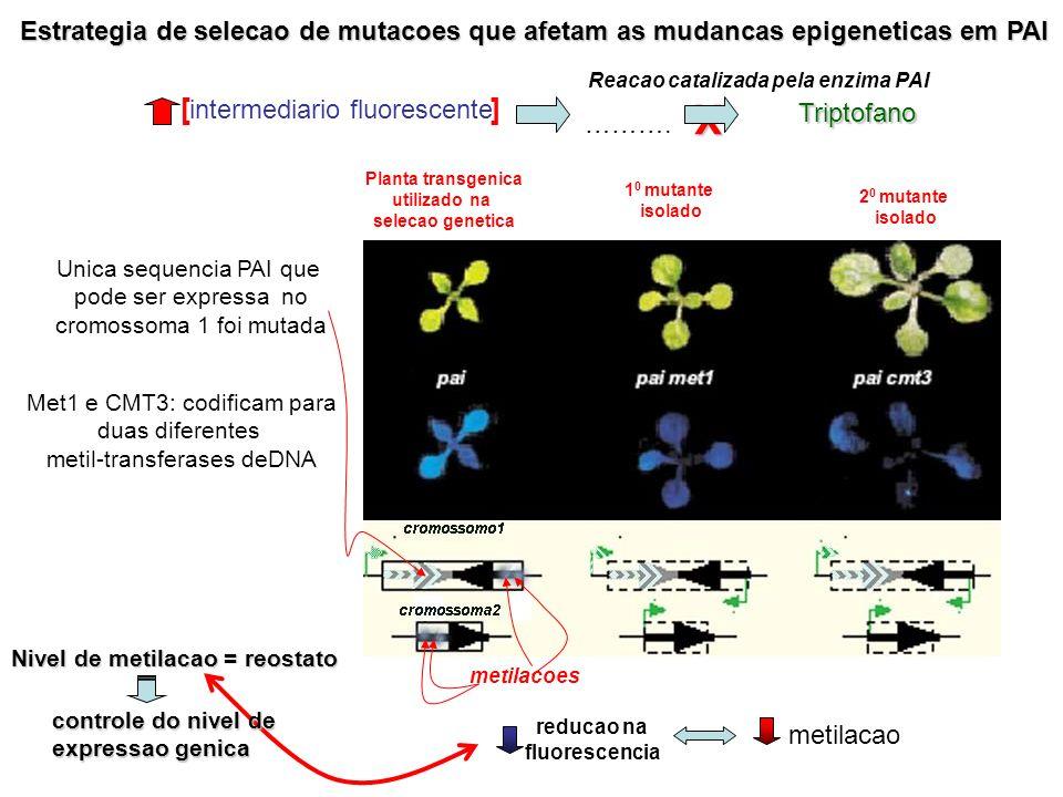 Estrategia de selecao de mutacoes que afetam as mudancas epigeneticas em PAI metilacoes [ ]X Planta transgenica utilizado na selecao genetica 1 0 muta