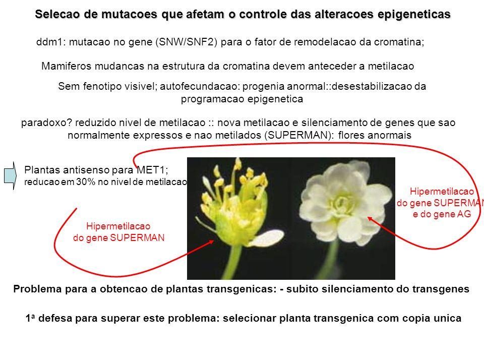 Selecao de mutacoes que afetam o controle das alteracoes epigeneticas ddm1: mutacao no gene (SNW/SNF2) para o fator de remodelacao da cromatina; Mamiferos mudancas na estrutura da cromatina devem anteceder a metilacao Sem fenotipo visivel; autofecundacao: progenia anormal::desestabilizacao da programacao epigenetica paradoxo.