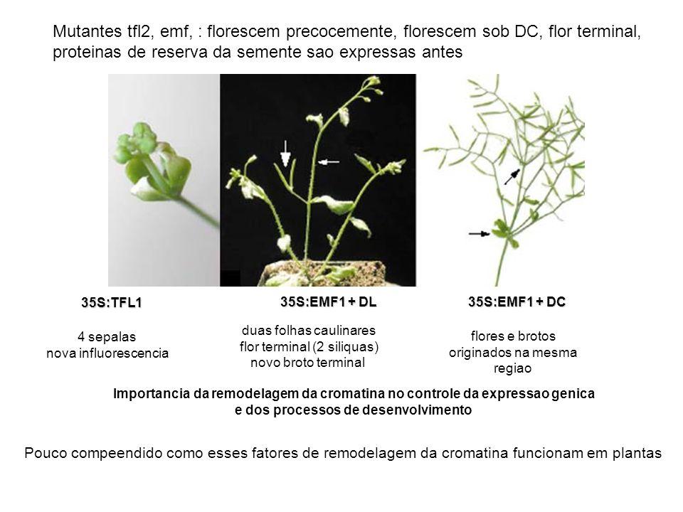 Mutantes tfl2, emf, : florescem precocemente, florescem sob DC, flor terminal, proteinas de reserva da semente sao expressas antes 35S:TFL1 4 sepalas nova influorescencia 35S:EMF1 + DL duas folhas caulinares flor terminal (2 siliquas) novo broto terminal 35S:EMF1 + DC flores e brotos originados na mesma regiao Importancia da remodelagem da cromatina no controle da expressao genica e dos processos de desenvolvimento Pouco compeendido como esses fatores de remodelagem da cromatina funcionam em plantas