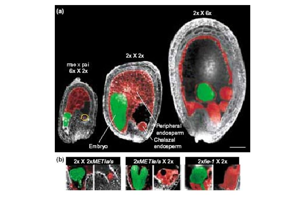Imprinting: a expressao de certos alelos edifere dependendo da origem do gameta Exs: mamiferos, fungos e plantas endosperma triploide de sementes milho: bom nivel de expressao quando transmitito pelo ovulo ::cor solida da semente alelos r (red): baixo nivel de expressao quando transmitido pelo polem ::cor variegada: Mecanismo epigenetico 1: imprinting exigem a transmissao paterna para garantir o desenvolvimento do endosperma
