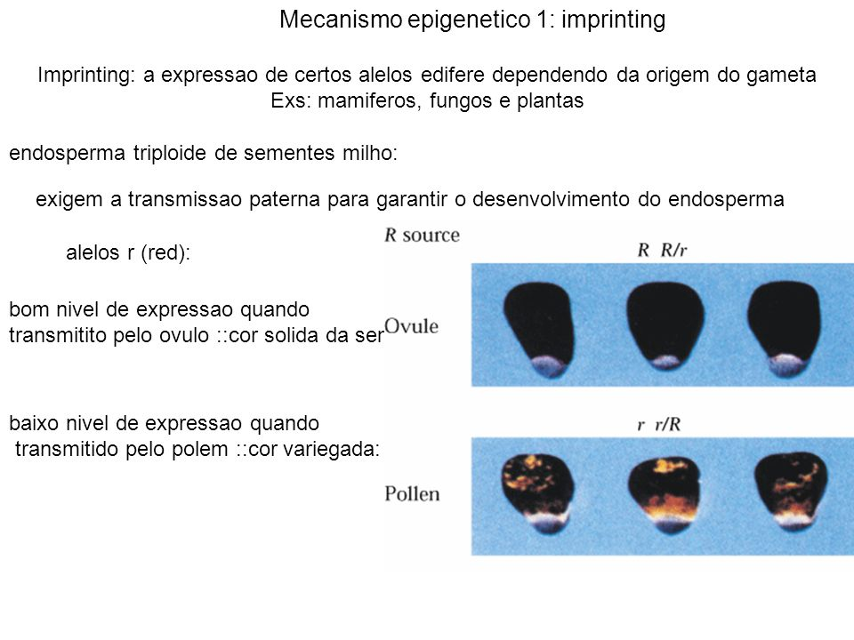 Interacao alelica: a expressao de um alelo em um heterozigoto e alterada na presenca de outro; herdavel atraves da meiose Alelo B(booster): B-I: pigmentacao forte; B: pigmentacao fraca B-I: mesmo gene: heterozigot transmite somente o alelo B B: transcricao 10-20 vezes menor Alelo Pl; forte pigmentacao das anteras; Pl: cor variegada PI e P: mesmo gene: heterozigoto transmite somente o alelo P Mecanismo epigenetico 2: paramutacao