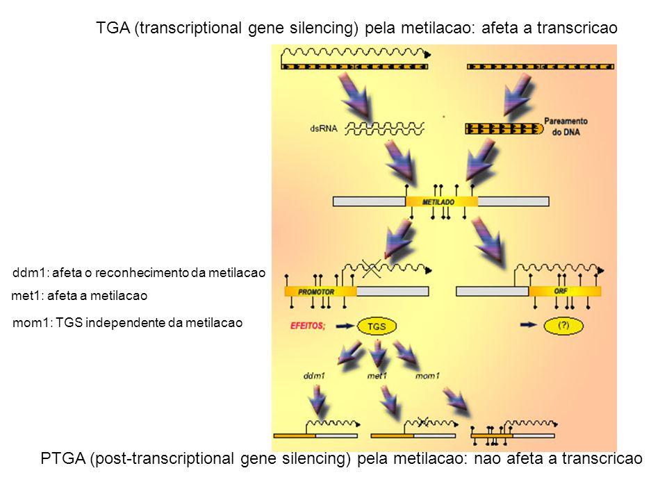 TGA (transcriptional gene silencing) pela metilacao: afeta a transcricao PTGA (post-transcriptional gene silencing) pela metilacao: nao afeta a transc