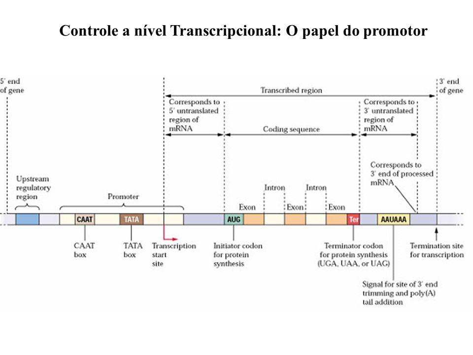 Estrutura de um gene Controle a nível Transcripcional: O papel do promotor