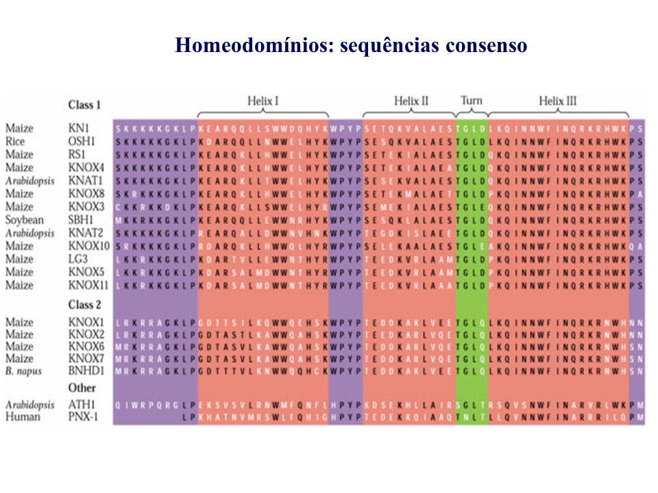 Homeodomain ( Homeodomínios)