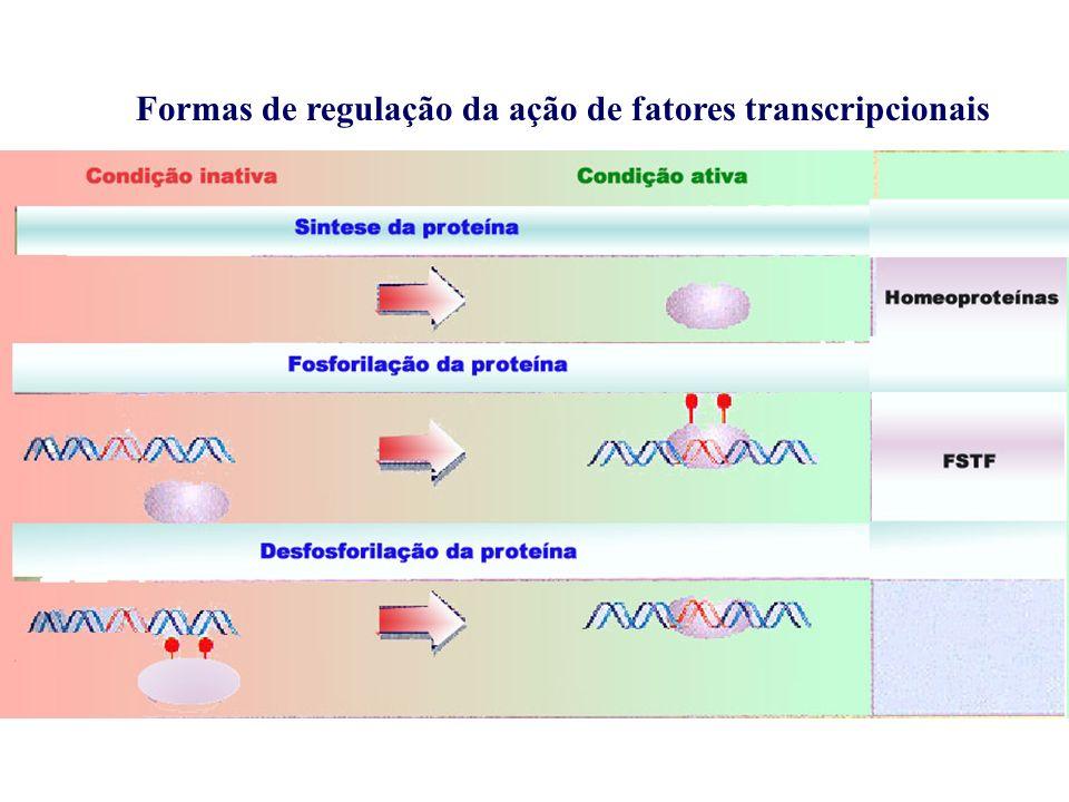 Regulação da transcrição A transcrição de um gene é regulada por uma sequência (elemento cis) no promotor (elemento regulador ou elemento de resposta) ou no estimulador (enhancer) Essa sequência regulatória do promotor é reconhecida por uma proteína específica (fator transcricional) Esse fator transcricional é necessário para que a RNA polimerase inicie a transcrição O fator transcricional ativo existe somente sob certas condições quando o gene é expresso