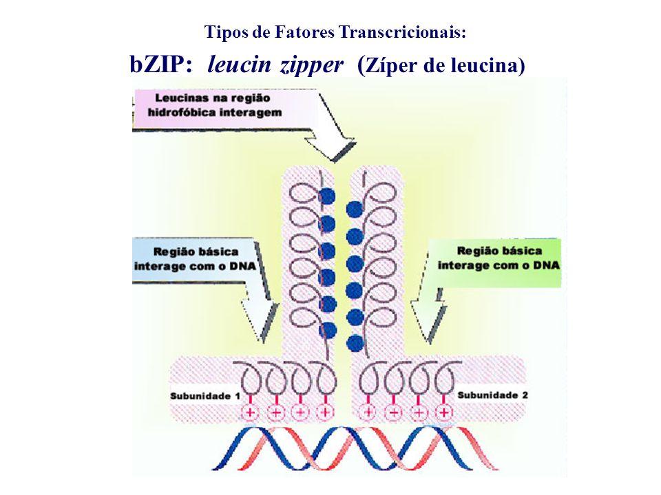 Tipos de Fatores Transcricionais: bZIP: leucin zipper ( Zíper de leucina)