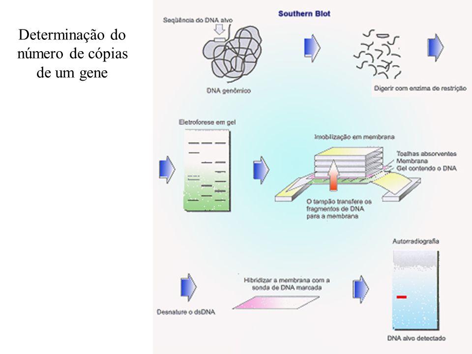Determinação do número de cópias de um gene