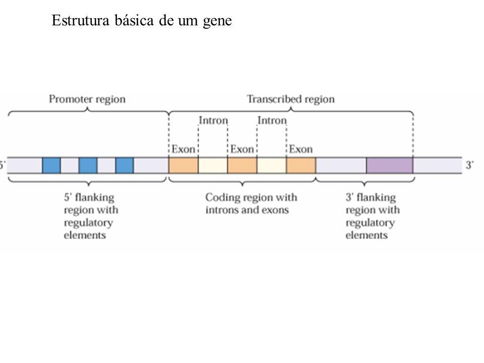 Estrutura básica de um gene