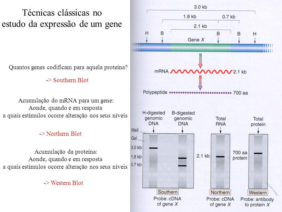 Técnicas clássicas no estudo da expressão de um gene Quantos genes codificam para aquela proteína? Acumulação do mRNA para um gene: Aonde, quando e em