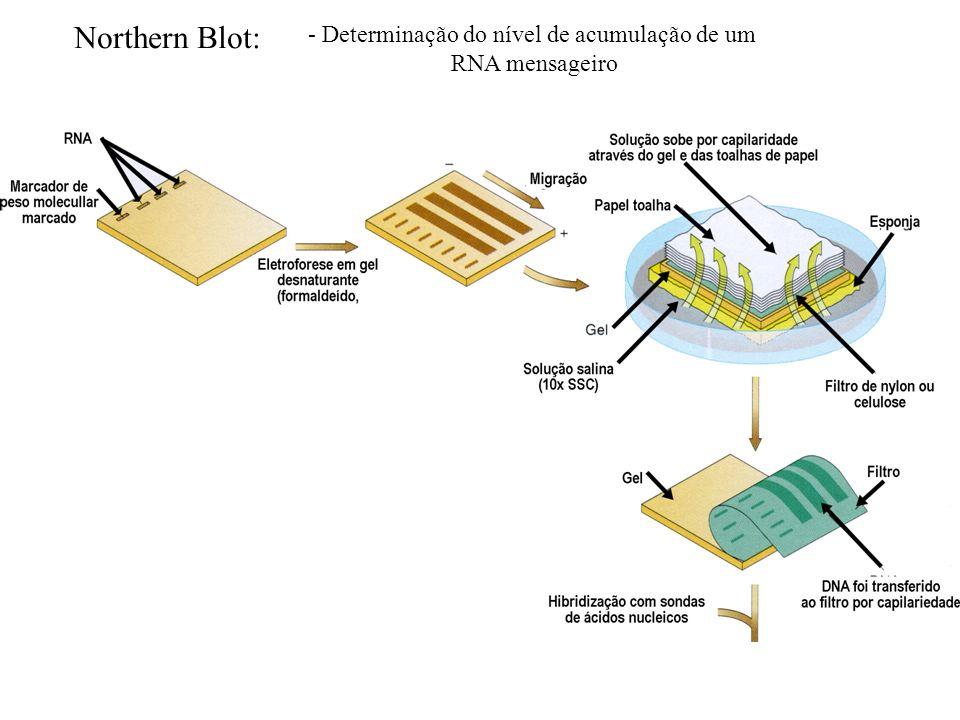 Northern Blot: - Determinação do nível de acumulação de um RNA mensageiro