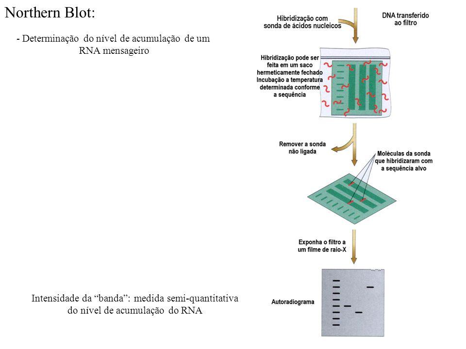 Northern Blot: - Determinação do nível de acumulação de um RNA mensageiro Intensidade da banda: medida semi-quantitativa do nível de acumulação do RNA