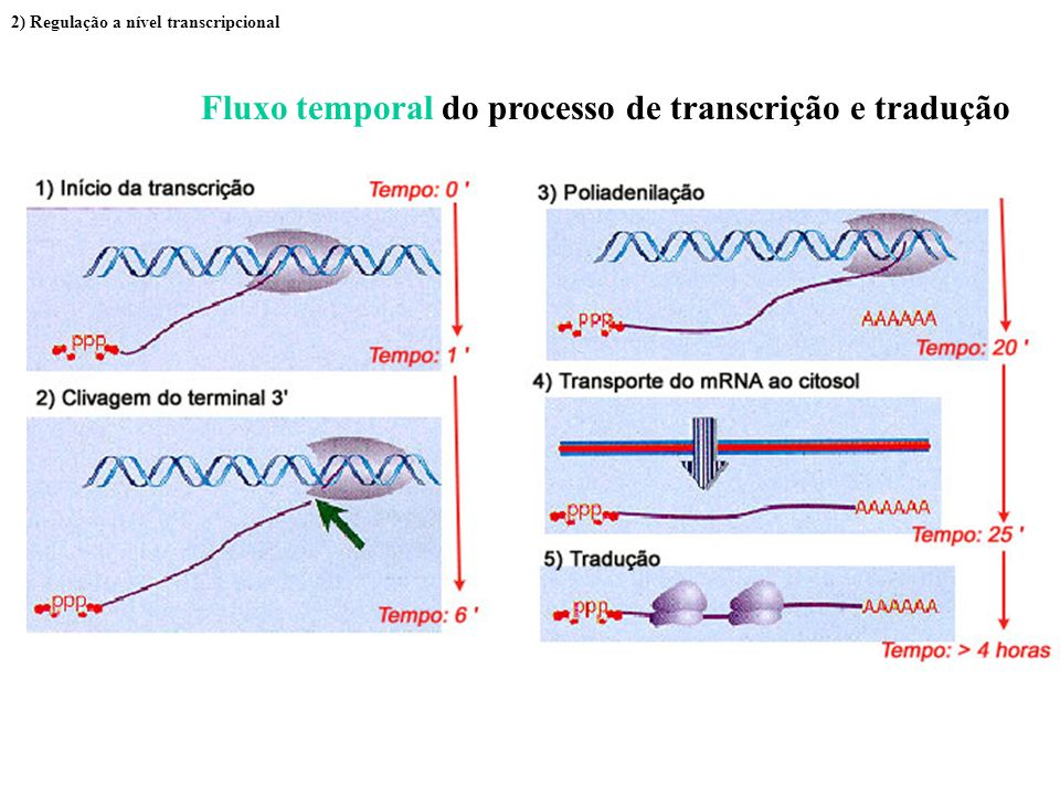 Fluxo temporal do processo de transcrição e tradução 2) Regulação a nível transcripcional